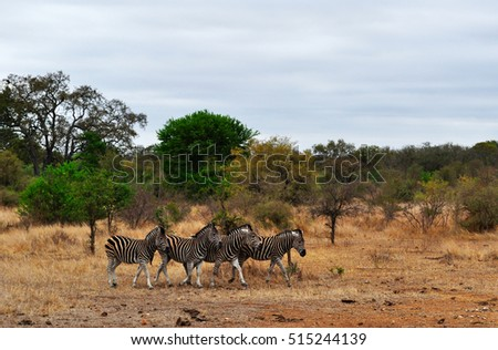 Safari in South Africa, 28/09/2009: a herd of zebras in the Hluhluwe Imfolozi Game Reserve, the oldest nature reserve established in Africa, in 1895, located in KwaZulu-Natal, the land of the Zulus