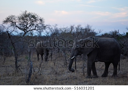 Safari in South Africa, 28/09/2009: elephants at dawn in the Kruger National Park, the largest game reserves in Africa established in 1898 and became South Africa's first national park in 1926