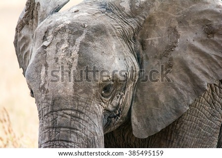 Safari in the Serengeti in Tanzania. Close up shot of a muddy worn elephant.