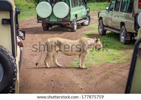 Safari lion watching  - stock photo