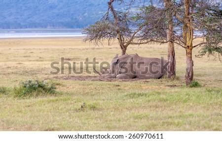Safari -   sleeping rhino on the background of savanna - stock photo