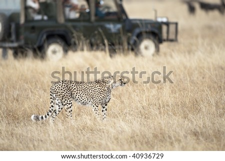 Safari tourists observing a cheetah, focus on foreground, blurred background, Masai Mara, Republic of Kenya - stock photo