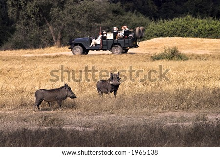 Safari vehicle and warthogs in Lower Zambezi National Park - stock photo