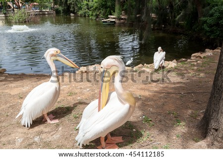 Safari visit on weekend. Two pelicans are posing. - stock photo