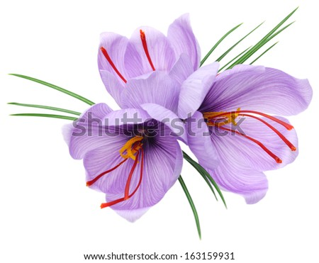 saffron crocus flowers isolated on white background - stock photo