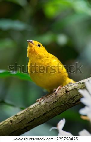 Saffron Finch - stock photo