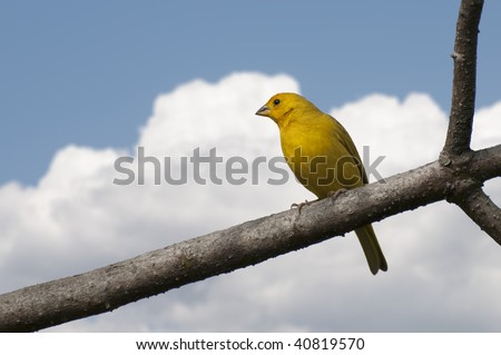 Saffron Finch on tree limb with cloudy background - stock photo