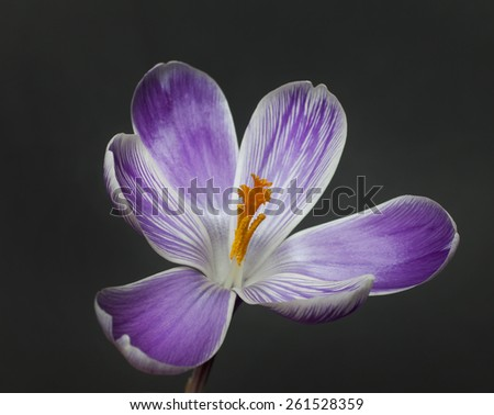 saffron flower close up on black, Saffron flower - stock photo