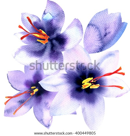 saffron violet crocus flowers isolated on white background, watercolor illustration - stock photo