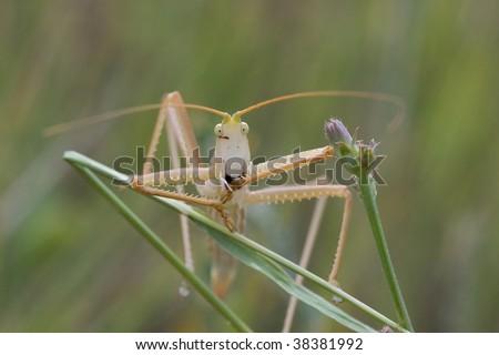 Saga pedo, grasshopper - stock photo