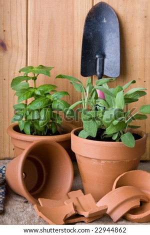 sage and basil herbs potted in terracotta pots with gardening tools
