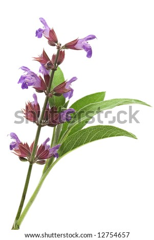 Sage flowers and leafs isolated on white - stock photo