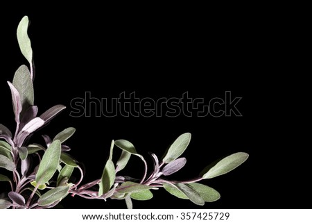 Sage herb on black background with copy space. Alternative herbal medicine background with copy space. - stock photo