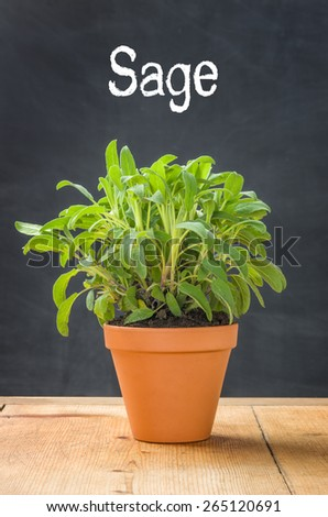Sage in a clay pot on a dark background - stock photo