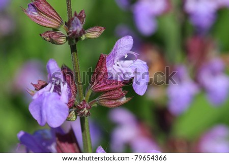 Sage - labiatae Flower - stock photo