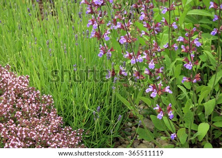 Sage, lavender and wild thyme in eco -friendly backyard formal garden, vegetable garden. Herbarium.  - stock photo