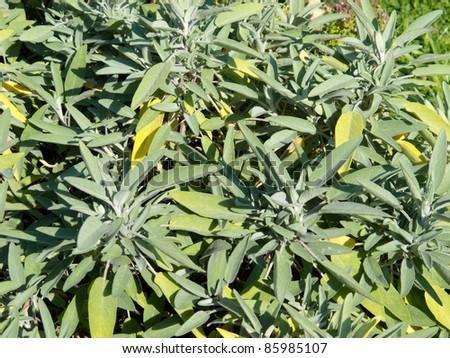 Sage plant - stock photo