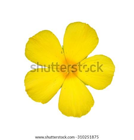 Sage rose, yellow flower, Isolated on white background - stock photo