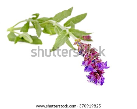 Sage.Sage  with flower isolated on white background. Fresh sage on white background. Sage isolated on white. Healthy sage, herbs.  - stock photo