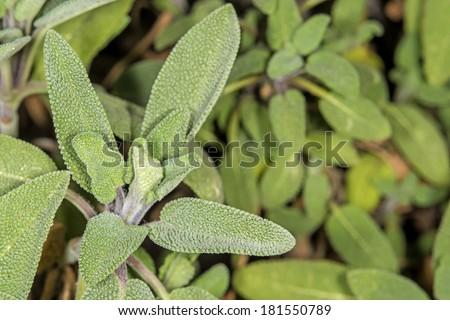 Sage, Salvia officinalis - stock photo