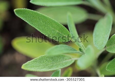 Sage, Salvia officinalis. Herbal medicine. - stock photo