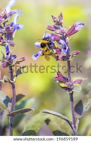 Sage, Salvia officinalis with bumblebee - stock photo