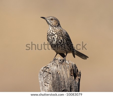 Sage Thrasher - Guadalupe Mountains National Park - stock photo