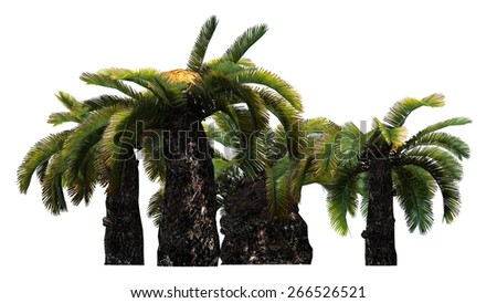 Sago Palm cluster - Sun Palm Tree - isolated on white background