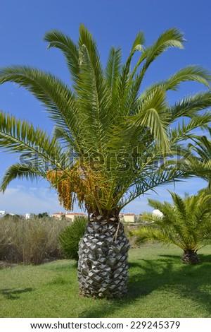 Sago Palm Latin name Cycas revoluta - stock photo