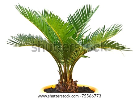 sago palm tree isolated on white background