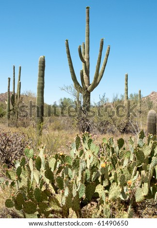 saguaro and prickly pear cactus - stock photo