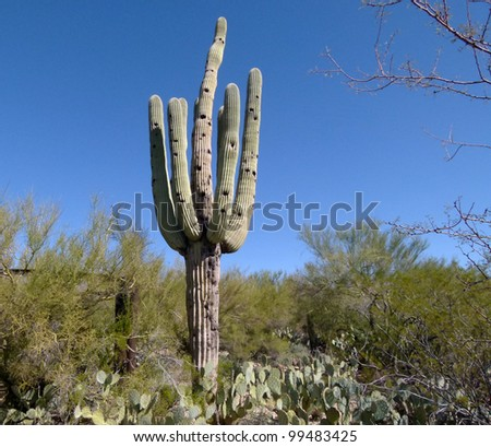 saguaro cactus and desert foliage