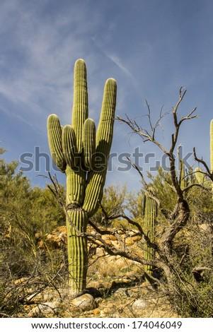 Saguaro Cactus at Catalina State Park in Tucson, Arizonz - stock photo