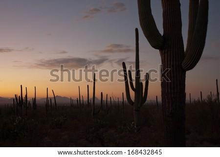 Saguaro Cactus at dusk in Tucson, Arizona - stock photo