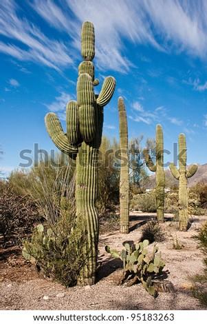 Saguaro Cactus at Sabino Canyon in Tucson, Arizona - stock photo
