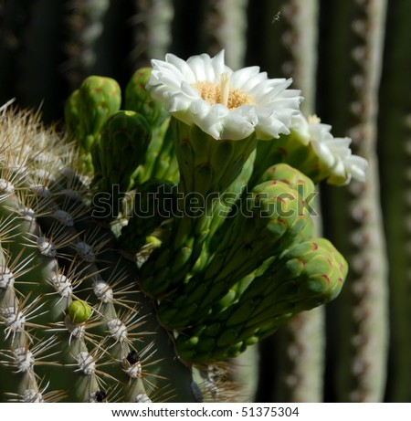 saguaro cactus bloom flower
