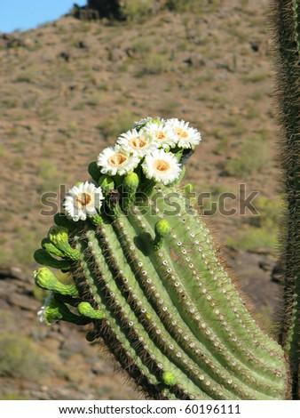 Saguaro cactus blooms - stock photo