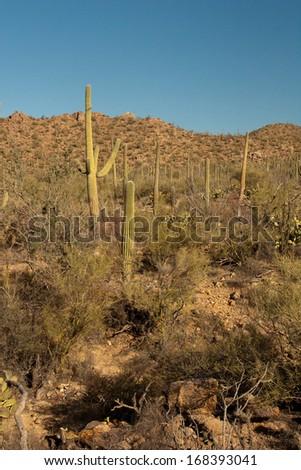 Saguaro Cactus forest in Tucson, Arizona - stock photo