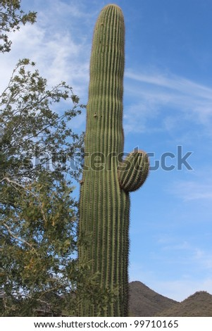 Saguaro Cactus in Arizona
