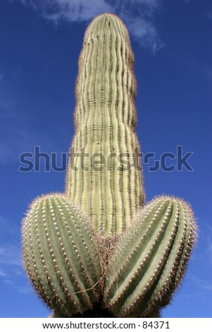 Saguaro Cactus in Arizona sits proudly against a blue sky with white fluffy clouds - stock photo