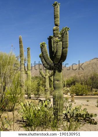 Saguaro Cactus in Sabino Canyon Park in Tucson Arizona - stock photo