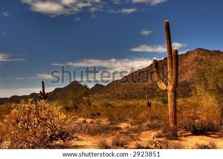 Saguaro cactus in the winter Arizona desert - stock photo