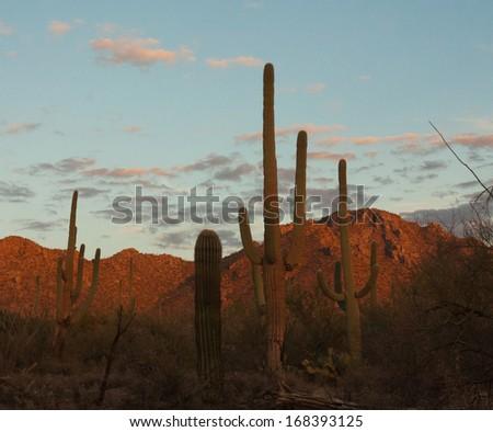 Saguaro Cactus Silhouette with vivid sunset in Tucson, Arizona - stock photo