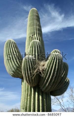 Saguaro Cactus with a bird nest - Saguaro National Park, Sonoran Desert, Tucson, Arizona - stock photo