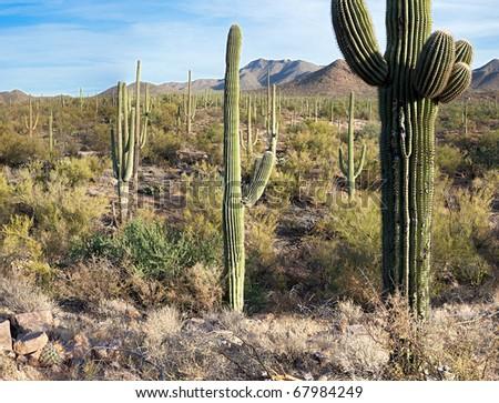 Saguaro National Park near Tucson. - stock photo