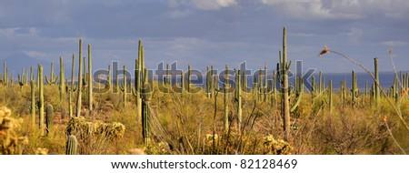 Saguaro panorama - stock photo