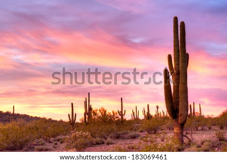 Saguaros catching days last sunrays. - stock photo