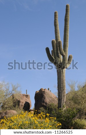 Saguaros with yellow wildflowers in Phoenix, AZ