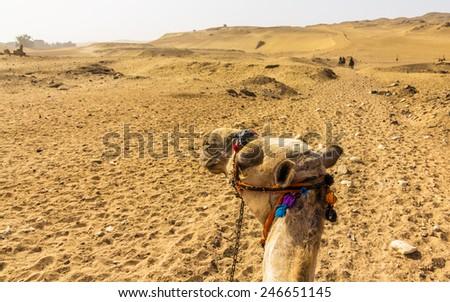 Sahara as seen by a camel rider - Egypt - stock photo