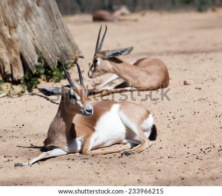 Saharian Dorcas Gazelles on sand - stock photo